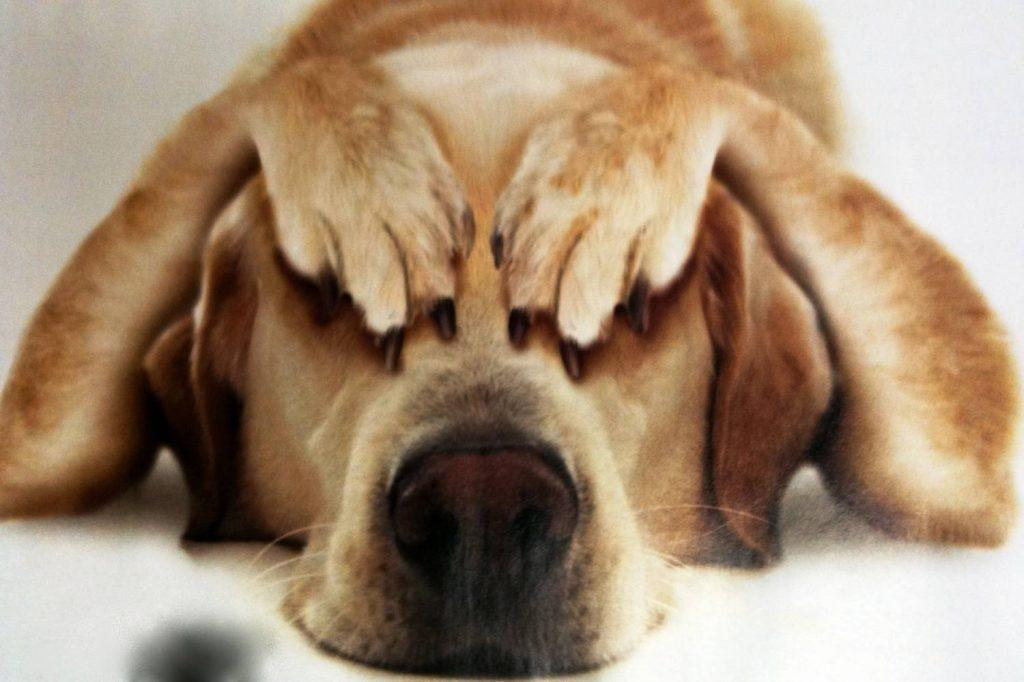 Собака боится грома и салюта: что делать?